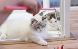 Den gulliga perserMunchkin katten, i vit och grå färger färgar och att spela leksaken royaltyfri bild