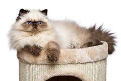 Den gulliga persiska colourpointkattungen ligger överst av ett katttorn Arkivbild