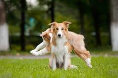 Den gulliga röda hunden sitter, och den unga valpen kör Fotografering för Bildbyråer