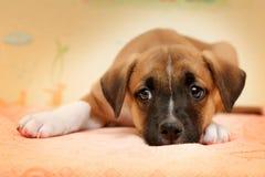 Den gulliga röda hunden som lägger i säng på biege, täcker royaltyfria foton