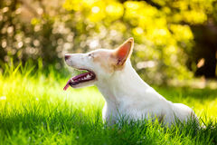 Den gulliga rörelsehindrade hunden i trädgården och vänstra sidan Royaltyfri Foto
