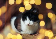 Den gulliga roliga kattungen som sitter och ser dreamily omgiven av festligt guld-, blänker och ljus royaltyfri fotografi