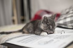 Den gulliga roliga tricolor kattungen som ligger på ark av anteckningsboken, och tuggningar belägger med metall gem på mappen royaltyfri foto