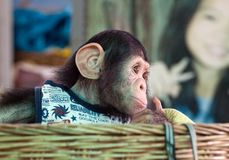 Den gulliga schimpansen ser royaltyfri fotografi
