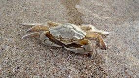 Den gulliga stora krabban Arkivfoton