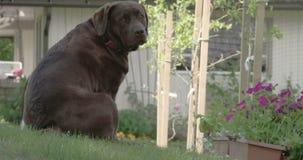 Den gulliga svarta labrador retriever som ner sitter odysseyen 7Q 4K för kulle FS700 lager videofilmer