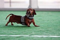 Den gulliga taxen bär den rutiga flaggadräkten på hundfestivalen Royaltyfri Foto