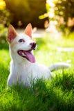 Den gulliga thai hunden i trädgården Arkivfoto