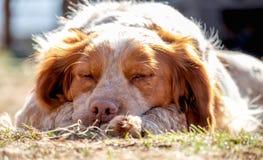 Den gulliga trevliga bruna och vita hundcockerspanieln är att sova som är utomhus- på solen, och att drömma omkring , Bygd royaltyfri foto