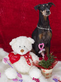 Den gulliga tyska pinscheren är min valentin Royaltyfria Foton