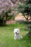 Den gulliga västra höglandet vita Terrier i ett frodigt parkerar Arkivbild