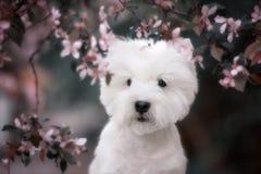 Den gulliga västra höglandet vita Terrier i ett frodigt parkerar Royaltyfria Bilder