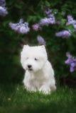 Den gulliga västra höglandet vita Terrier i ett frodigt parkerar Arkivbilder