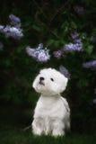 Den gulliga västra höglandet vita Terrier i ett frodigt parkerar Royaltyfri Foto
