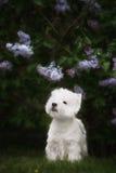 Den gulliga västra höglandet vita Terrier i ett frodigt parkerar Arkivfoton