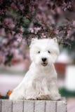 Den gulliga västra höglandet vita Terrier i ett frodigt parkerar Royaltyfria Foton