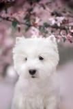 Den gulliga västra höglandet vita Terrier i ett frodigt parkerar Royaltyfri Fotografi