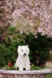 Den gulliga västra höglandet vita Terrier i ett frodigt parkerar Fotografering för Bildbyråer