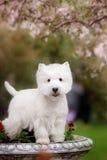 Den gulliga västra höglandet vita Terrier i ett frodigt parkerar Arkivfoto