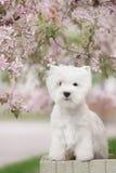 Den gulliga västra höglandet vita Terrier i ett frodigt parkerar Royaltyfri Bild