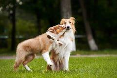 Den gulliga valpen kysser den röda hunden Arkivfoto