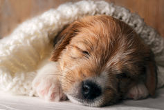 Den gulliga valpen som sover sötsaken som täcktes med mjuk slags tvåsittssoffa, stack torkduken arkivfoton