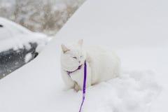 Den gulliga vita fluffiga katten går i den insnöade naturen Royaltyfri Foto