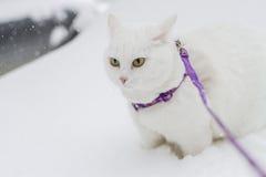 Den gulliga vita fluffiga katten går i den insnöade naturen Royaltyfri Bild