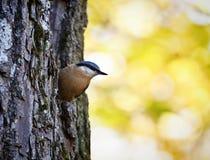 Den gulliga wood nuthatchfågeln sätta sig från den gamla stammen Arkivfoton