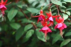Den hängande fuchsian blommar i skuggor av rosa färger Royaltyfri Fotografi