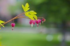 Den hängande hjärtan blommar på den lilla filialen fotografering för bildbyråer
