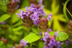 Den härliga ängen blommar Prunella Vulgaris arkivbilder
