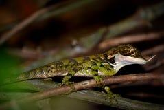 Den härliga ödlan från djungel, skogen är den mycket sällsynta Cangaroo ödlan i skog fotografering för bildbyråer