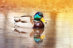 Den härliga anden som svävar på vattnet, badade i guld- ljus av solen Royaltyfria Bilder