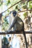 Den h?rliga apan sitter p? utkiken i ett tr?d i en by i Gambiaet royaltyfri fotografi