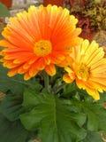 Den härliga apelsinen blommar med gröna sidor Arkivfoton