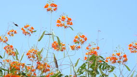 Den härliga apelsinen blommar på en bakgrund av himlen arkivfilmer