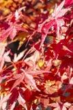 Den härliga apelsinen och de röda höstskuggorna av det Acer Palmatum bonsaiträdet arkivfoton