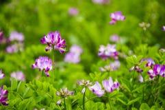 Den härliga astragalussmicusen blommar i vår Royaltyfria Bilder