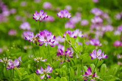 Den härliga astragalussmicusen blommar i vår Royaltyfri Bild