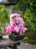 Den härliga azalean blommar i en kruka arkivbild
