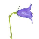 Den härliga blåa handklockan isoleras på vit bakgrund, closeu Royaltyfria Bilder