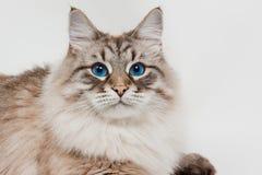 den härliga blåa katten eyes siberianen Arkivbilder