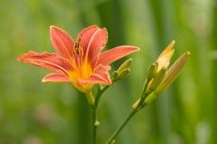 Den härliga blom Arkivbilder
