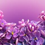 Den härliga blom- gränsen med lilan blommar tätt upp Arkivbild