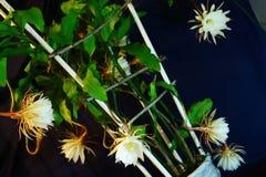 Den härliga blomman Bred-leaved Epiphyllum Fotografering för Bildbyråer