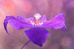 Den härliga blomman, closeupen för den purpurfärgade klematins på en bakgrund dekorerade med textur abstrakt blommapurple Arkivbild
