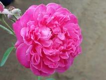den härliga blomman steg Royaltyfri Fotografi