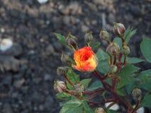 Den härliga blomman steg i trädgården royaltyfria bilder
