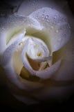 Den härliga blomman steg med vattendroppar Royaltyfria Foton